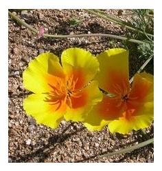 Pavot de Californie ( Eschscholtzia )