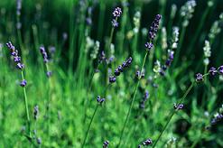 Anti stress naturel, une plante et tout peut changer